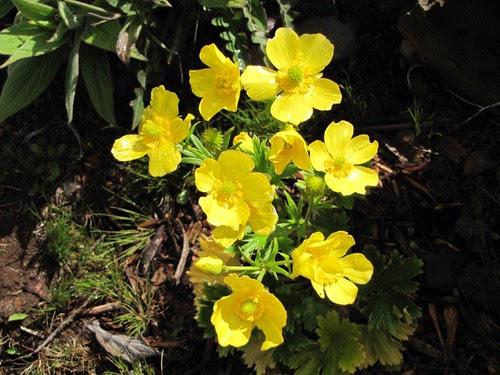 Foto 03 - Ranunculo (Ranunculus cortusifolius)