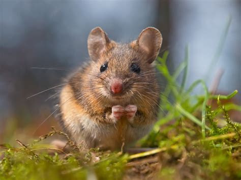 A Guide to Field Mice   Effective Wildlife Solutions