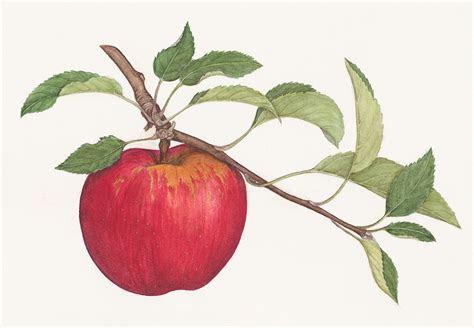 antique botanical drawings apple