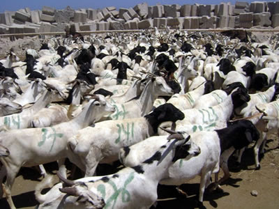 Saudi Arabia Resumes Livestock Trade With Somalia