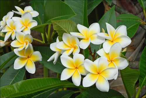 Fleurs de Frangipanier (Île de la Réunion)