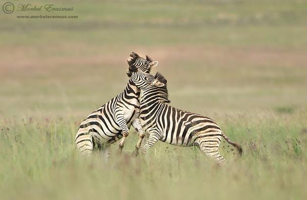 Zebra_Fight.jpg