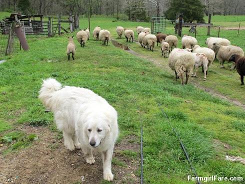 Sheep heading out to eat breakfast (3) -  Wait, we forgot Marta - FarmgirlFare.com
