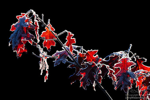Red Leaves Lined With Frost