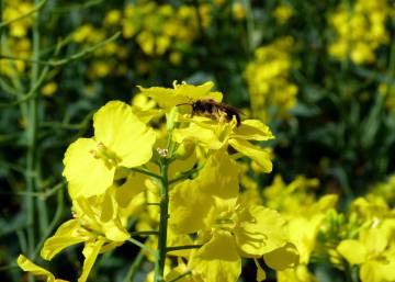 Las abejas silvestres también sufren los efectos de los modernos plaguicidas