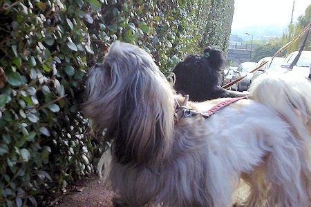 cães em gramados