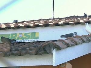 Pombos podem transmitir doenças (Foto: Reprodução / TV TEM)