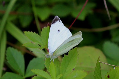 IMG_0780_Cabbage_White_Butterfly_at_Ouabache