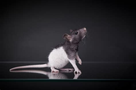 Mouse   Calgary Pest Control   Calgary Mouse Extermination Experts