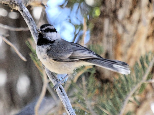 Mountain Chickadee 3-20130619