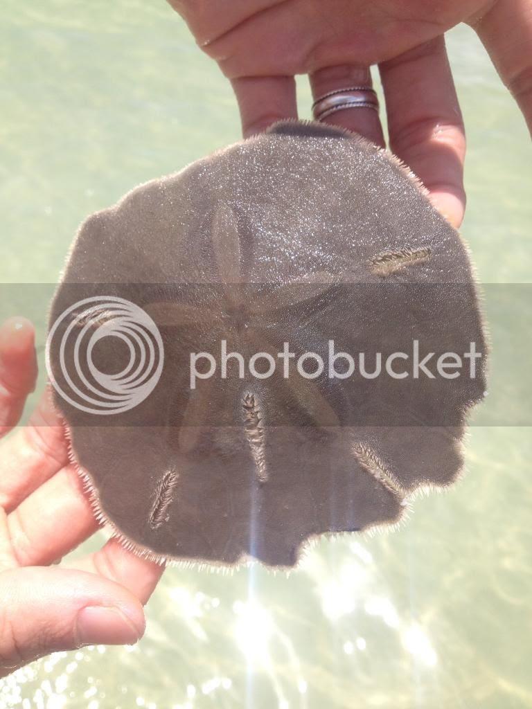 Live sand dollar at Maderia Beach