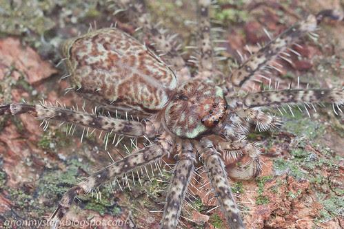 lichen huntsman IMG_9622 copy