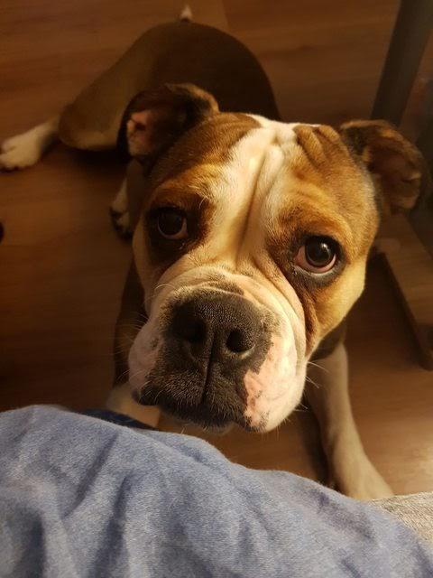 Orbee – 2 year old female Bulldog