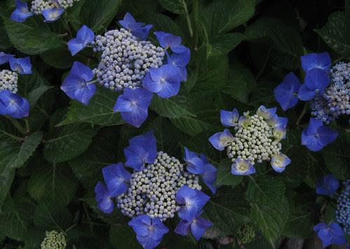 Hydrangea blue white june11