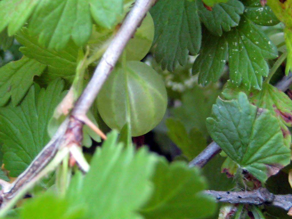 Uvas de finlandia