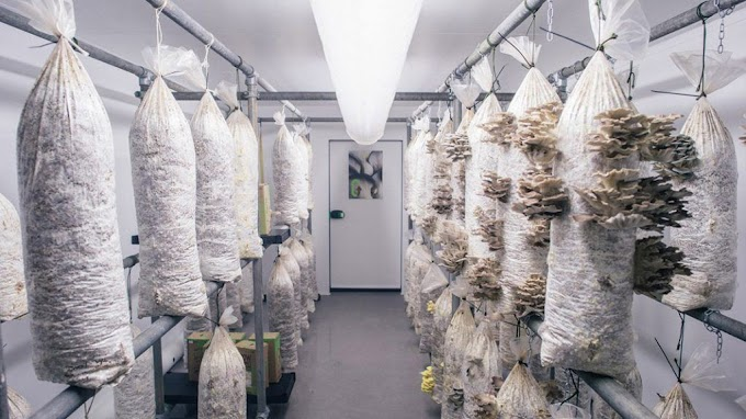 MUSHROOM CULTIVATION CONSULTANCY WITH GROWING ROOM AND SPAWN LAB SET UP