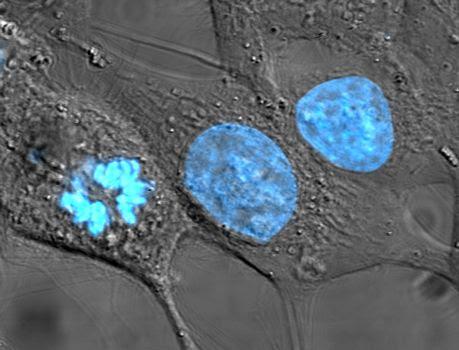 Ciclo y división celular
