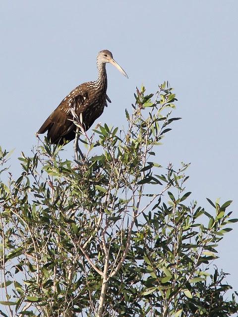Limpkin in tree 20121129