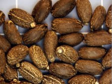 Seeds of J. curcas. Seeds are pressed for oil extraction, which  can be utilized as biofuel
