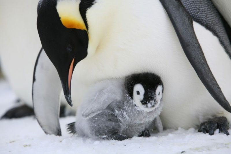 Penguin with orange head markings leans over small fuzzy gray & black chick.