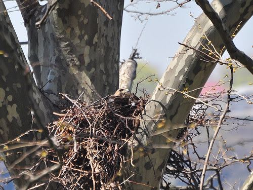 Mama Red-Tail in Nest