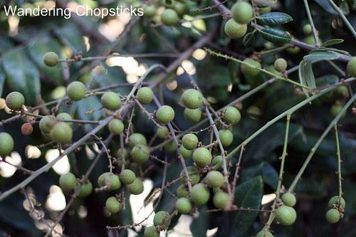 11.13 Longan Blossoms & Fruit 3