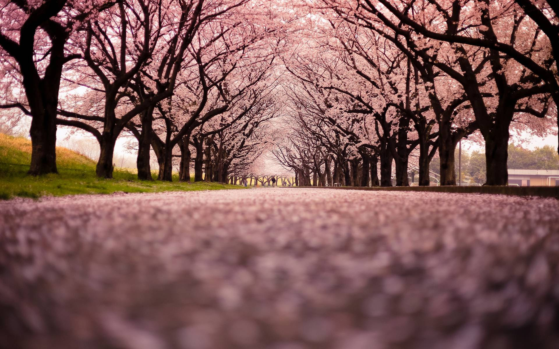Cherry Blossom Backgrounds Wallpaper Cave