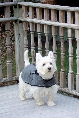Westie Coat
