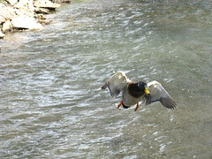 Duck about to land in the creek