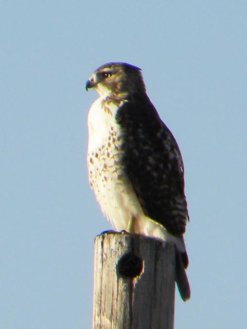 DSCN4648e Hawk