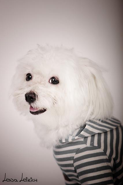 Maltipoo Maltés Y Poodle O Caniche Raza Poodle