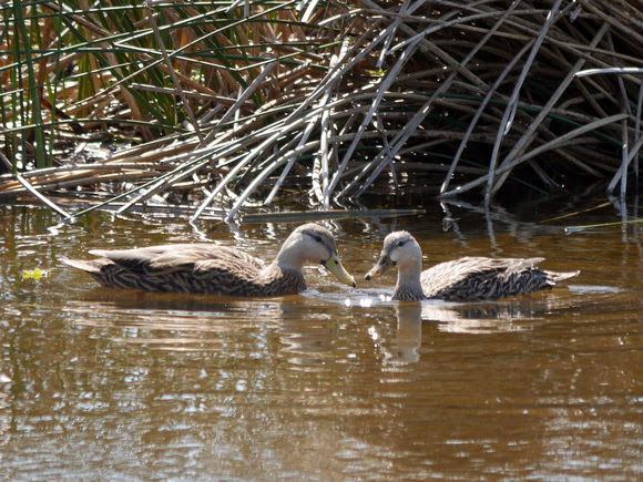 Ed Gaillard: birds &emdash; Mottled Ducks, Green Cay
