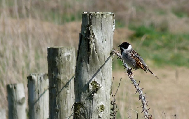 24168 - Reed Bunting, , Llangennith Moor, Gower