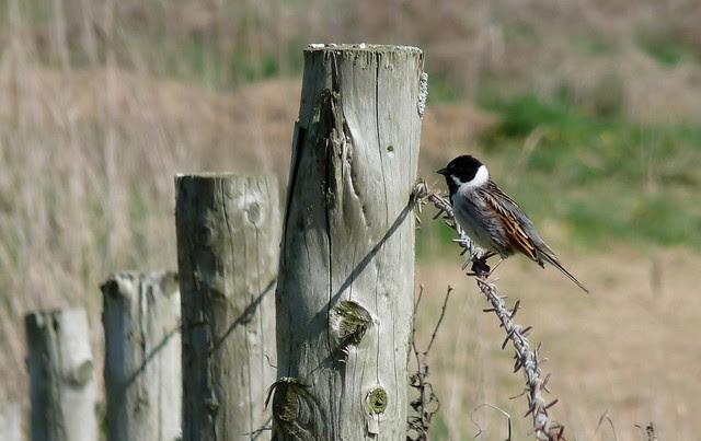 24168 - Reed Bunting, , Llangennith Moor, Gower