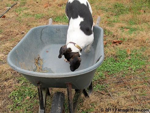 Determined Beagle Bert 4 - FarmgirlFare.com