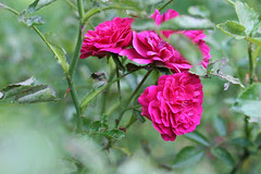 garden flowers  046