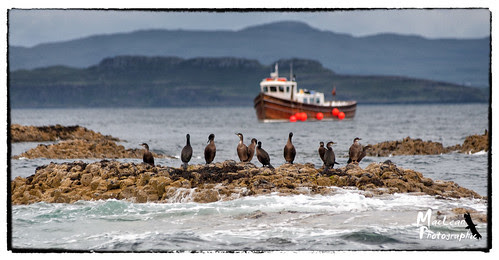 Cormorants on Staffa