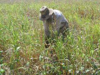 Hand Pulling Cocklebur Weeds Amidst Sorghum Almum Plants