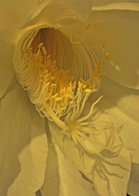 Epiphyllum oxypetalum 08-23-10 2337