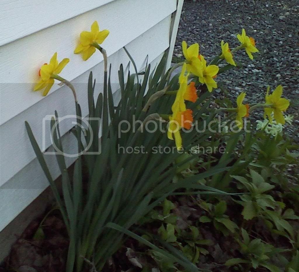 Daffodils turned face in to a garage wall, behind two others facing directly out