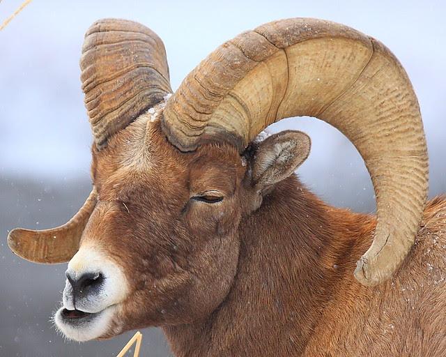 IMG_5106 Bighorn Sheep, Yellowstone National Park