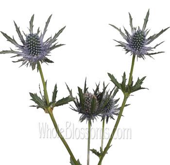 Buy Wholesale Eryngium Thistle Flowers At Bulk