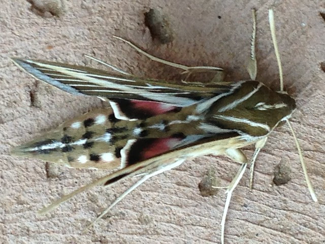 sphinx moths III