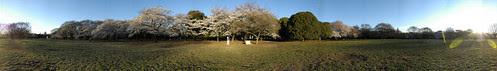 Cherry Blossom - Panorama 3
