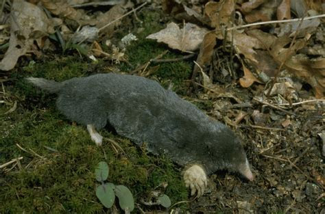 Hairy Tailed Mole