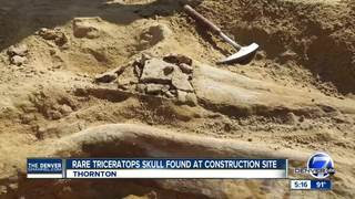 Image result for PHOTOS: Rare triceratops fossil found in Colorado at construction site