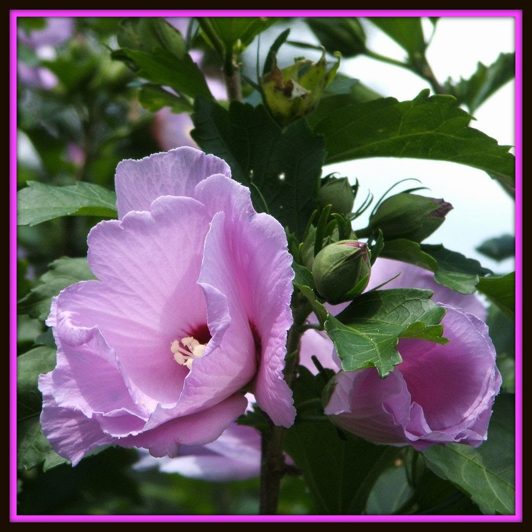 Rose of Sharon by Angie Ouellette-Tower for godsgrowinggarden.com photo 012_zps4a898197.jpg