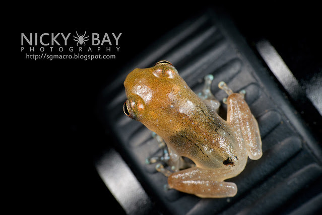 Frog (Anura) - DSC_8846