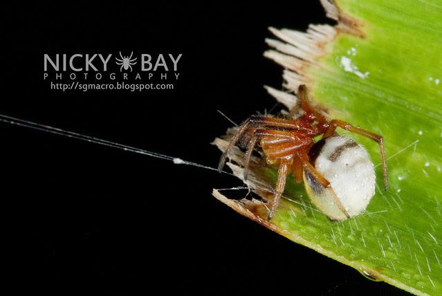 Orb Weaver Spider (Zygiella calyptrata) - DSC_6323
