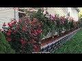 Landscaping Knockout Rose Bush